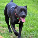 Bella Dohnt the staffy playing in the Jake yard at Nathalia Boarding Kennels and Cattery