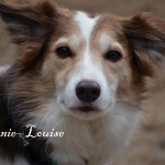 Bonnie Louise the Border Collie playing in the Kirby garden at Nathalia Boarding Kennels and Cattery