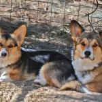 Oscar and Pearl Ozdelik the corgi's relaxing in the Bronte Garden while on holidays at Nathalia Boarding Kennels and Cattery