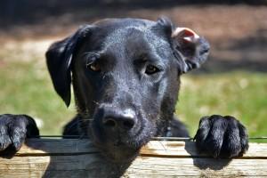 black-dog-folded-ear