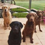 The-McPherson-Family---Nelson-Golden-Retriever,-Maxie-Labrador-and--Zobaa-and-Monty-chesapeakes
